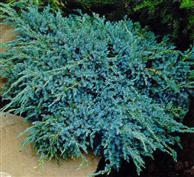 Le Juniperus Squamata Blue Carpet